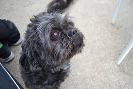 affenpinscher joey allie u0027s walkabout gallery doggy daycare boarding u0026 grooming
