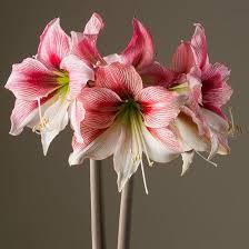 amaryllis flower amaryllis glee amaryllis from israel easy to grow bulbs