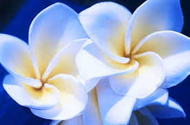 Plumerias Artsy Blue Plumerias Photograph By Joe Carini Printscapes