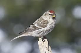 wintering birds northern wilds