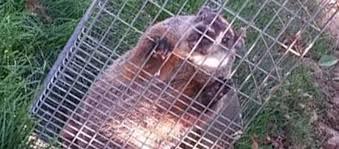 big groundhogs