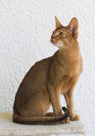 popular cat breeds theistlist