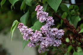 Lilac Flower by Purple Lilac New Hampshire Pictures New Hampshire History Com