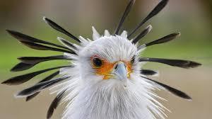 secretary bird san diego zoo animals u0026 plants