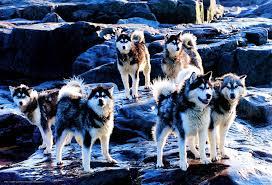 download wallpaper husky dogs breed free desktop wallpaper in