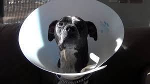 dog with cone freakout youtube