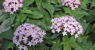 pentas flower butterfly pentas louisiana plant 2011