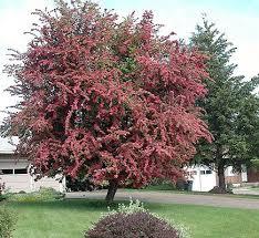 46 best q g trees large shrubs images on garden