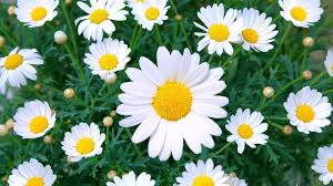 Flowers Colors Meanings - what is the meaning behind daisy flowers reference com