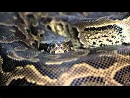 film ular phyton collection of film ular makan harimau ular mamba kill singa by