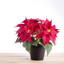 How To Care For Your by How To Care For Your Poinsettia Long After Christmas