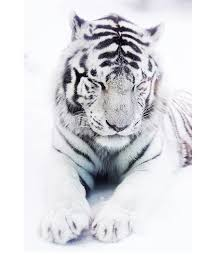 white tiger lookingdown canine chronicle