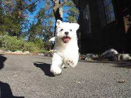 1 week old bichon frise bichons frise page 3 for sale ads free classifieds