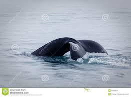 fluke or tail of humpback whale ending breach royalty free stock