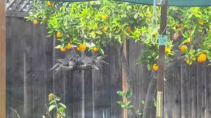 flock of band tailed pigeons at my backyard platform feeder san
