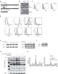 tetraspanin microdomains control localized protein kinase c