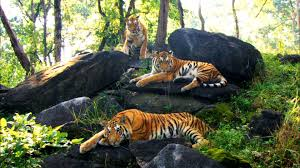 growing up in the tiger family david attenborough tiger in