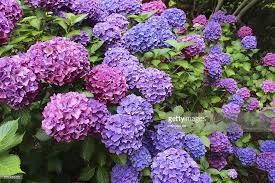 Purple Hydrangea Pink And Purple Hydrangea Flowers Mophead Hydrangea Bush Shady