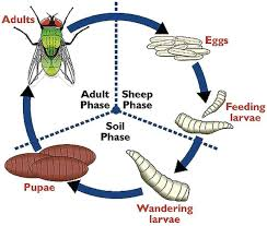 blowfly strike biology epidemiology and control in practice