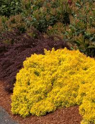 golden orange color golden nugget dwarf japanese barberry monrovia golden nugget