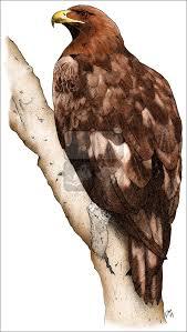 golden eagle aquila chrysaetos line art and full color illustrations