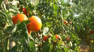mature tomatoes vegetable garden organic tomato 4k farm chemical