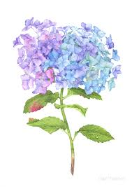 hydrangea flowers hydrangea flower with watercolor on behance