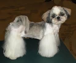 shih tzu haircuts 20 adorable shih tzus with stunning haircuts hairstylec