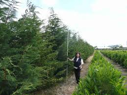 leyland cypress trees available in washington state we deliver and