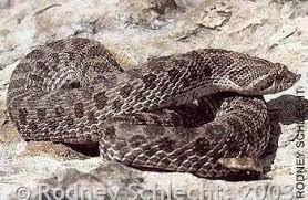 english pattern snake guides plains hog nosed snake montana field guide