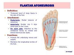 Calcaneus Anatomy Anatomy Of The Foot