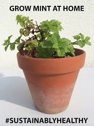 grow mint in singapore
