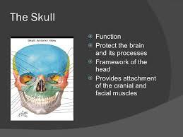 Floor Of The Cranium The Cranial Bones