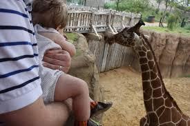 jamesie beats the tumor giraffe baby at the dallas zoo