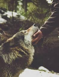 imagenes sorprendentes de lobos i have a fascination with wolves wolves pinterest lobos
