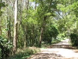 native san francisco plants biodiversity another eucalyptus myth busted death of a million