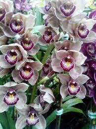 cymbidium orchids cymbidium orchid at flower show centre picture of sikkim tours