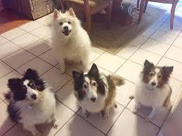 american eskimo dog washington state our three shelties plus bonus american eskimo dog shelties