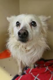 american eskimo dog adoption i found beau fiv on adoption cas and volunteers