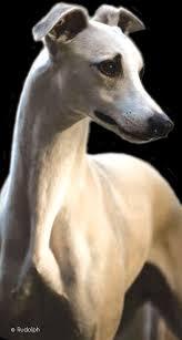 affenpinscher joey dog show 2012 01 29