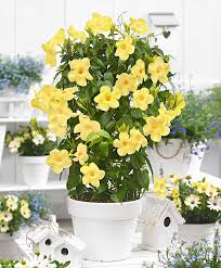 buy a container plant now mandevilla u0027yellow u0027 bakker com