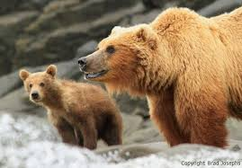 Animal Planet Documentary Grizzly Bears Full Documentaries - great bear stakeout airs on bbc and discovery channel