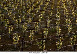 Trellis Wine Grape Vine Trellis Stock Photos U0026 Grape Vine Trellis Stock Images