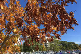 fall foliage vibrant colors missing wtop