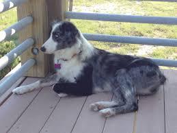 australian shepherd rescue nc home bark aussies