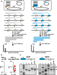 Anti Flag Affinity Gel Interactions Between Rna Polymerase And The Core Recognition