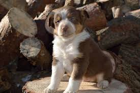 australian shepherd quebec fun loving australian shepherd mix puppies craigspets