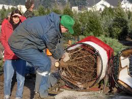to fend off their plastic imitators christmas tree growers band