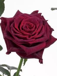 burgundy roses burgundy black baccara ubloom