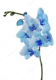 Blue Orchid Flower - large light blue orchid flowers on white u2014 stock photo dr pas